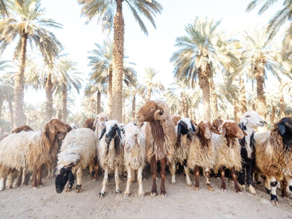 Goats herded along by their farmer, Saudi Arabia