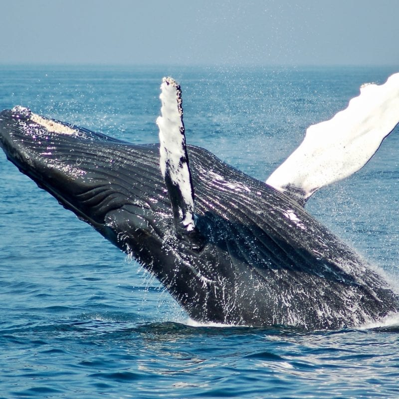 Whale emerging out of the water mid-Atlantic