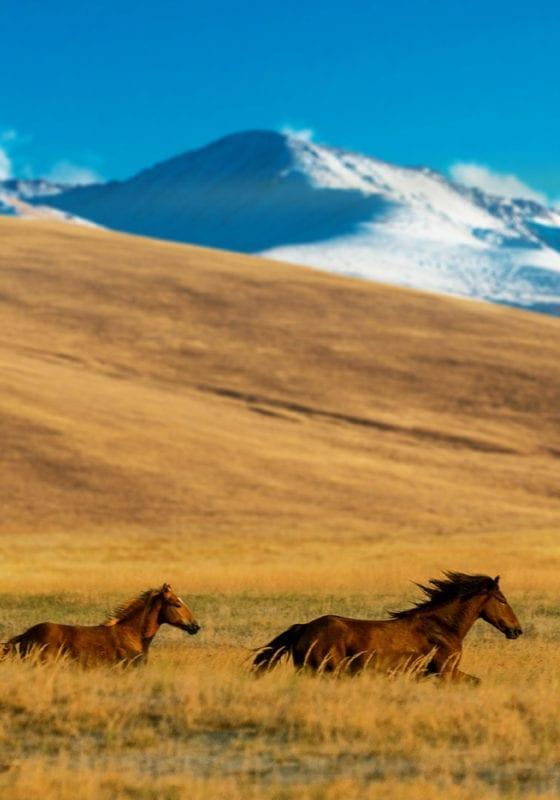 Wild horses galloping in rural Kazakhstan