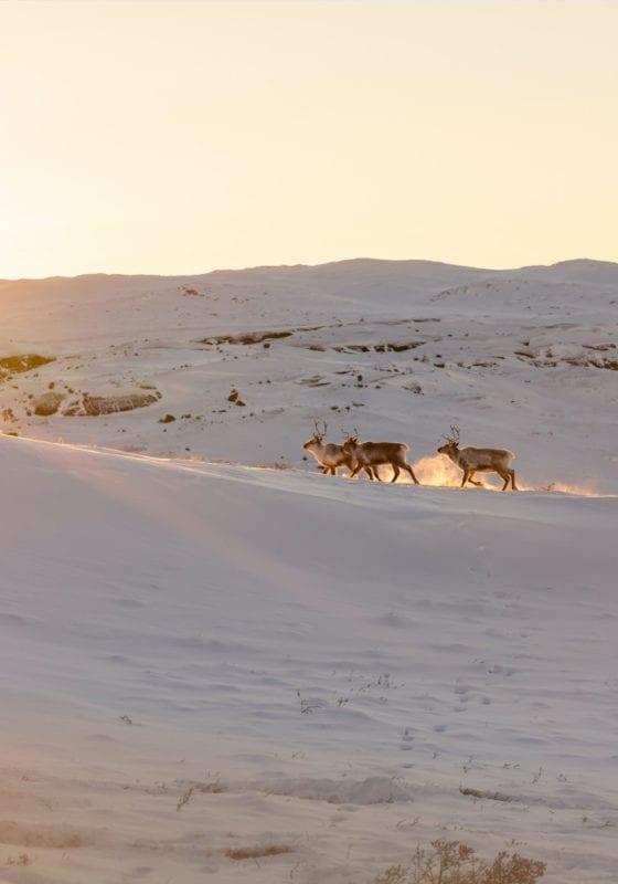 Wild reindeer at sunrise in Greenland