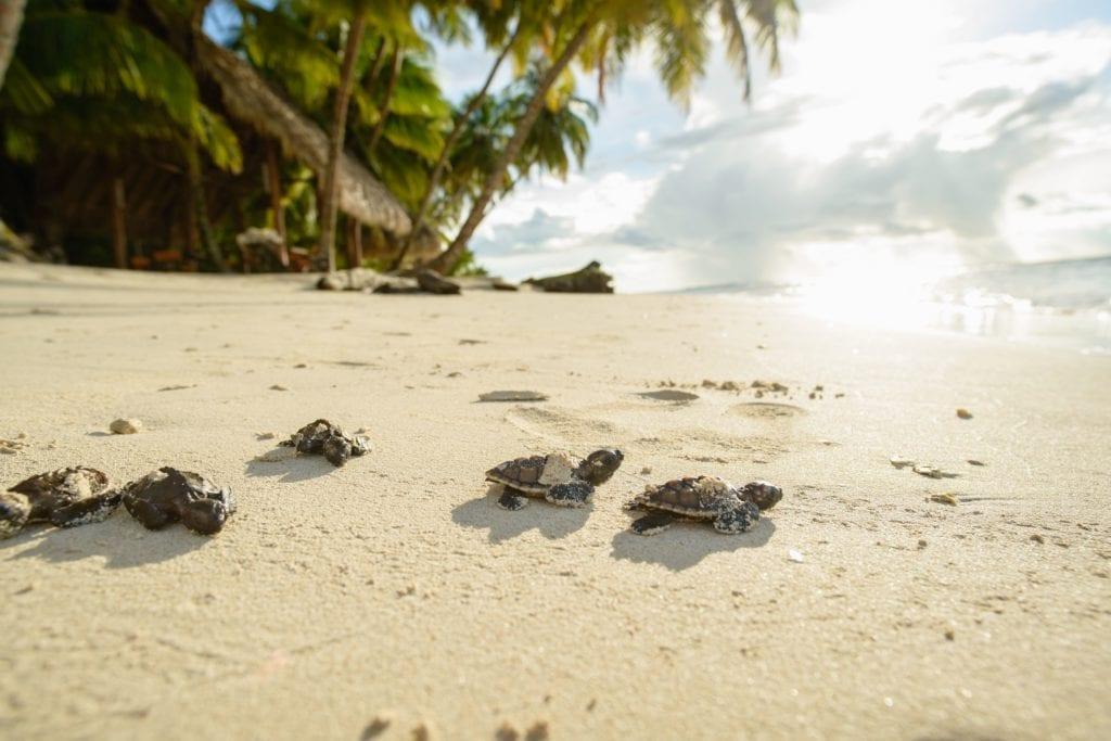 Hawksbill Turtles hatching on the beach of Calala Island Nicaragua