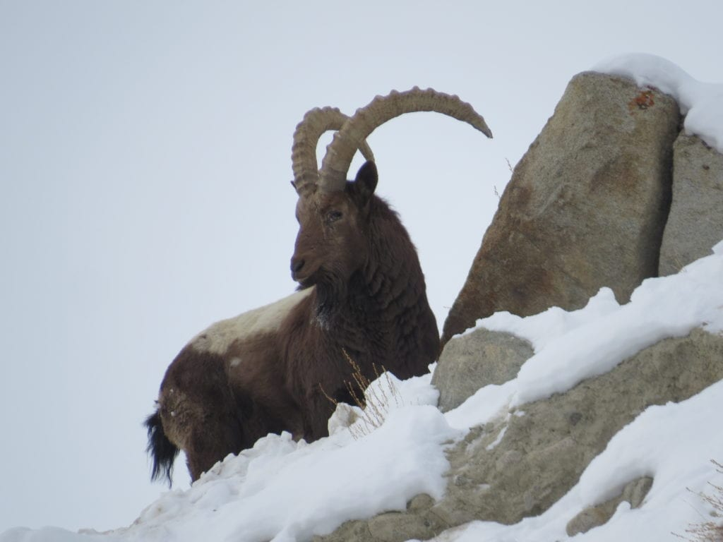 Ibex on the edge in snow Mountain at Snow Leopard Lodge India Himalayas