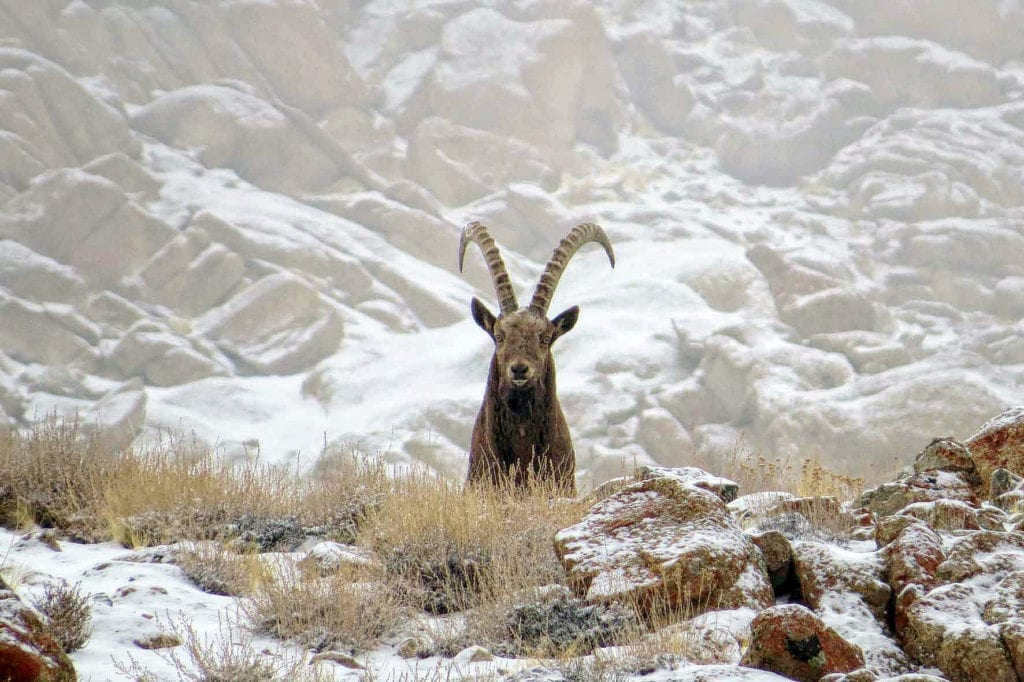 Ibex Front on in the Snow Himalayas Snow Leopard Lodge India