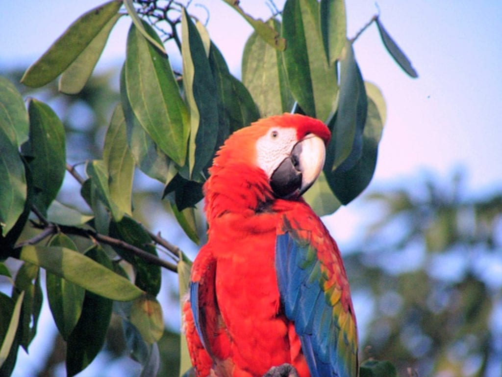 Scarlet Macaw Jungle in Ecuador