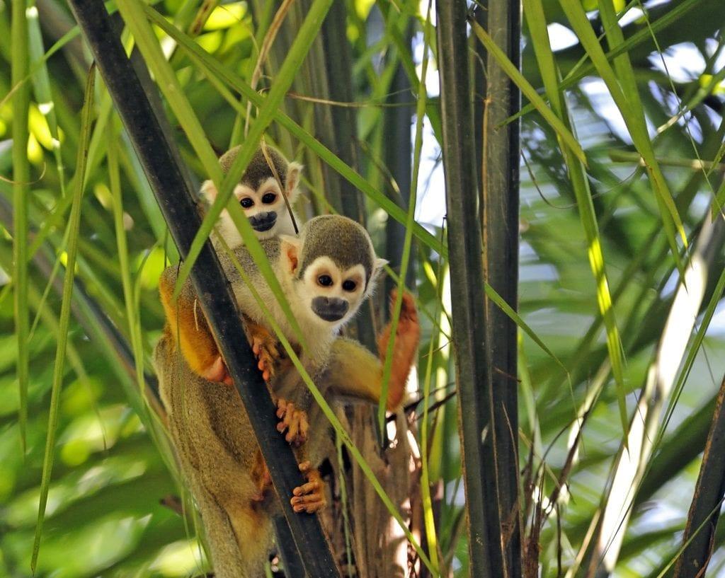 Squirrel Monkies in the Jungle in Ecuador