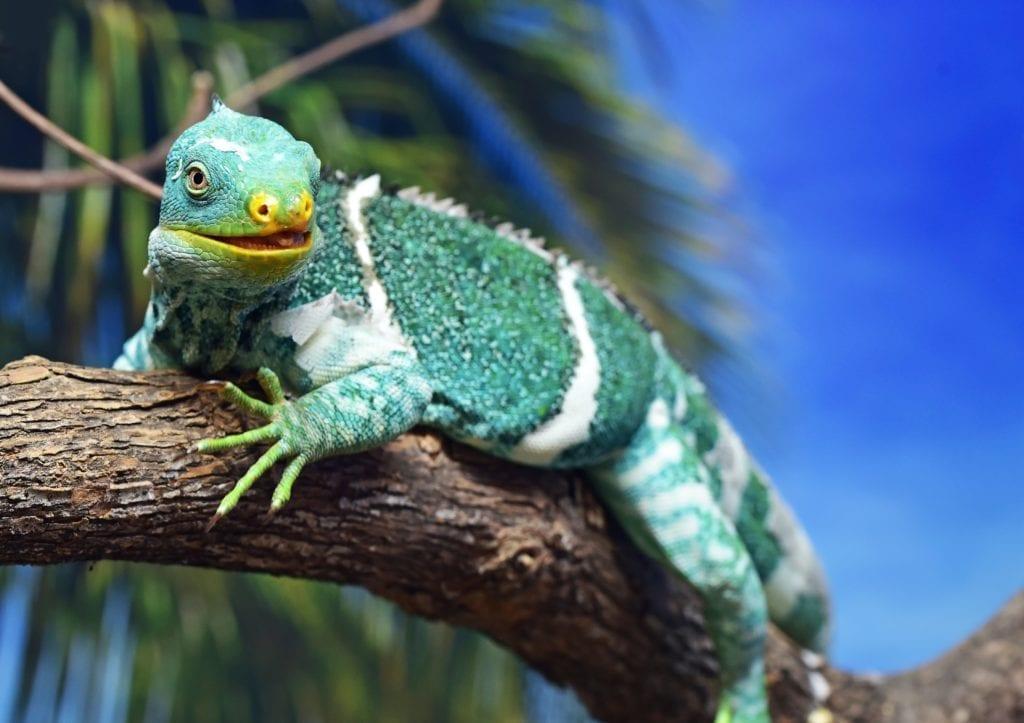 Wildlife Lizard on a branch in Fiji