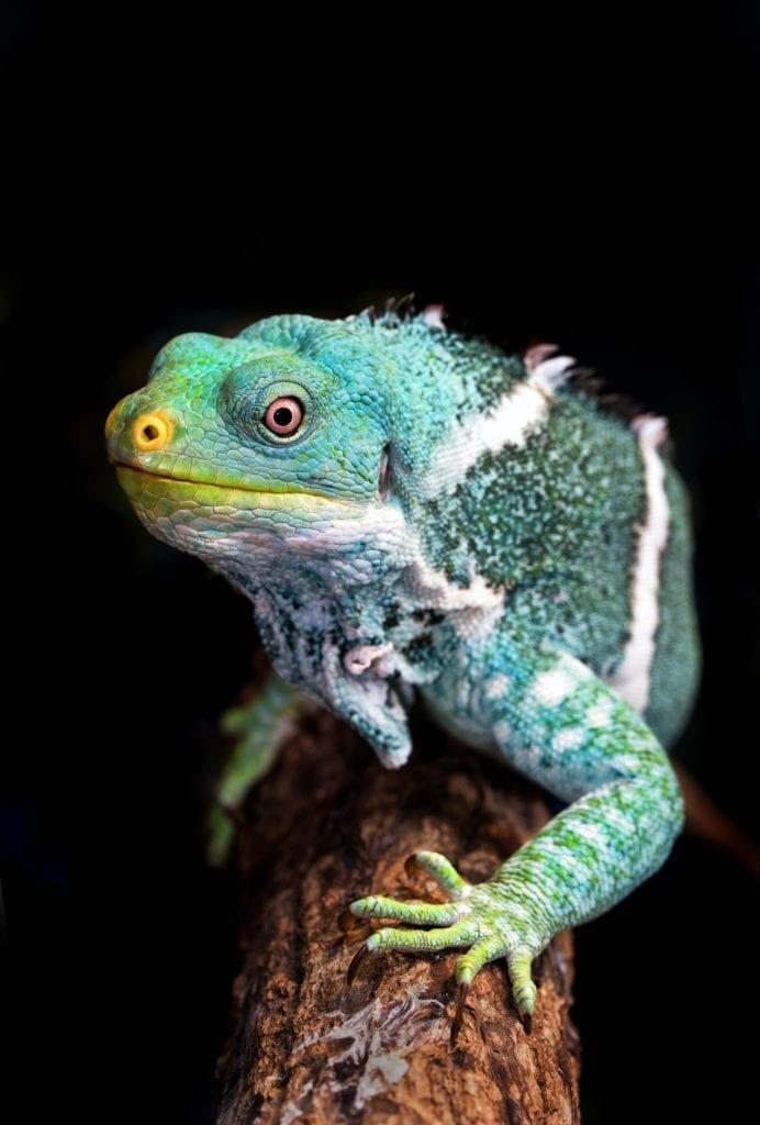 Lizard in Fiji
