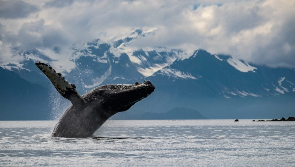 Whale jumping out ocean in Alaska