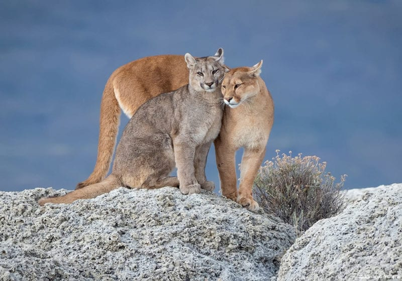 Puma's in patagonia