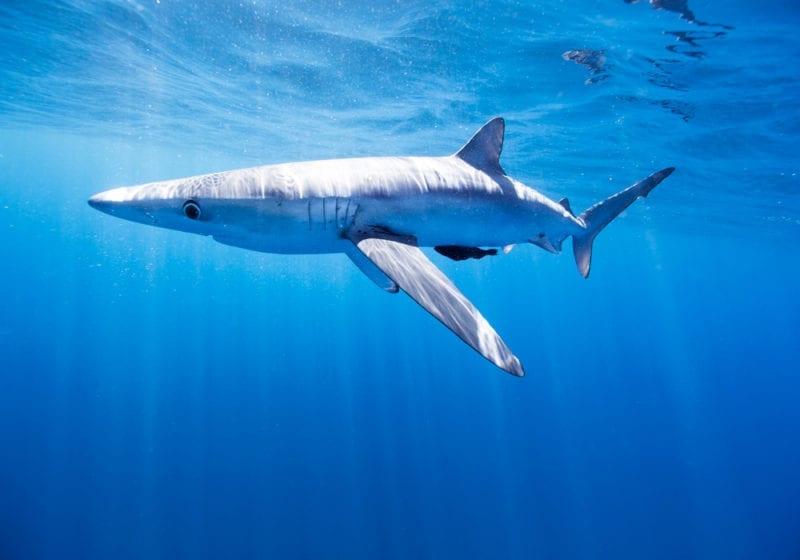 Blue Shark Diving Baja California
