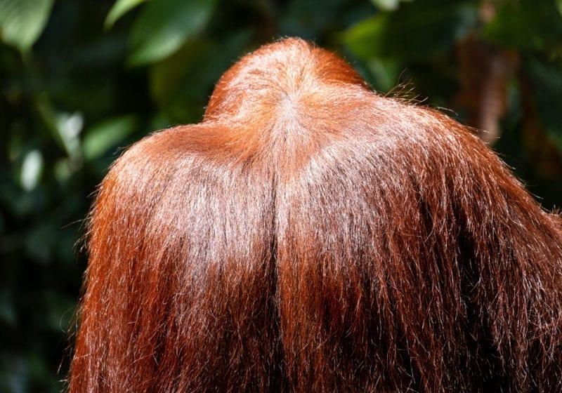 Back of Orangutan in Borneo