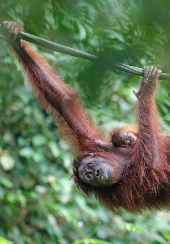 Orangutan and Baby in Borneo