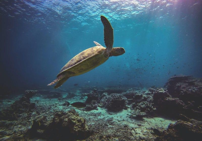 Scuba Diving turtle in Borneo
