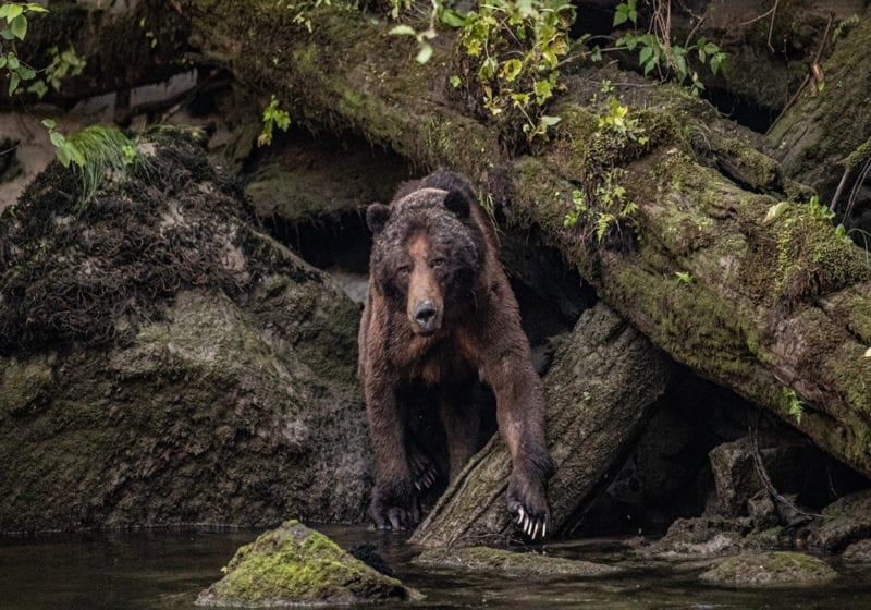 British Columbia Brown Bear Canada