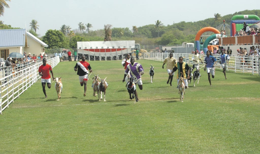 action shot of the Buccoo Goat Race in Trinidad and Tobago