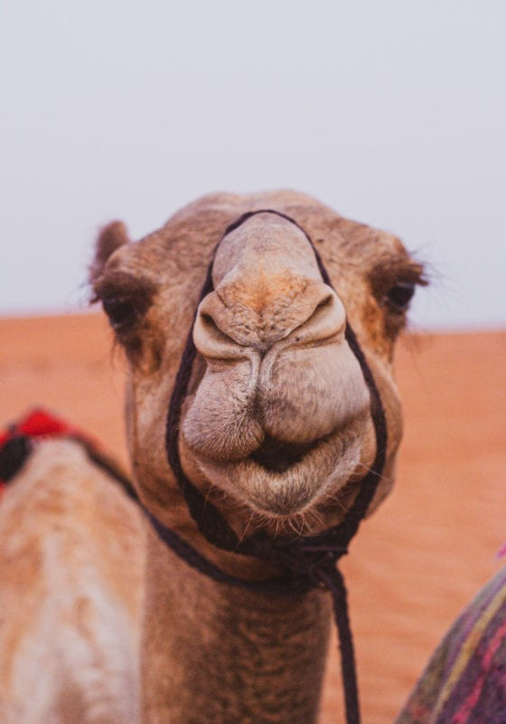 Camel in Chad