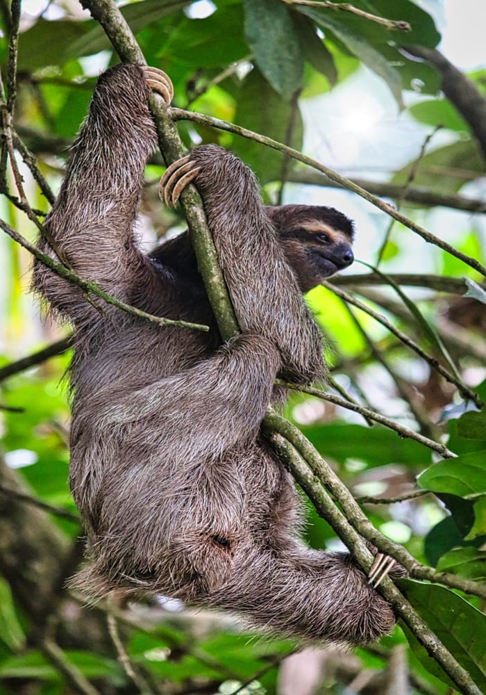 Sloth in the Jungles of Costa Rica