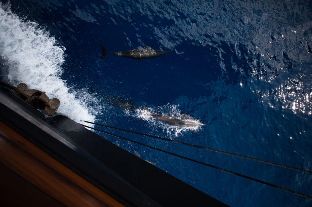 Dolphins swimming alongside Dunia Baru
