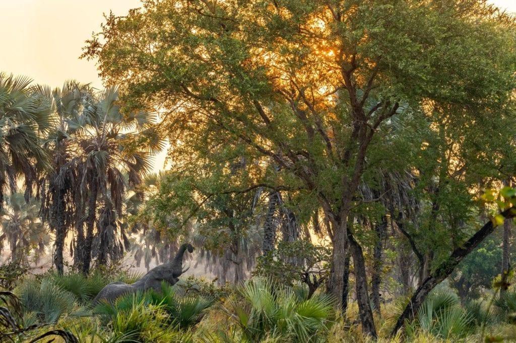 Elephant reaching up into the trees, Gorongosa National Park