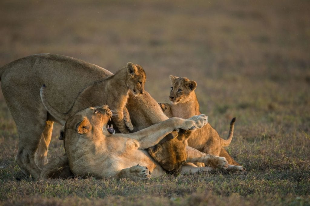 Playful pride of lions in the Gorongosa