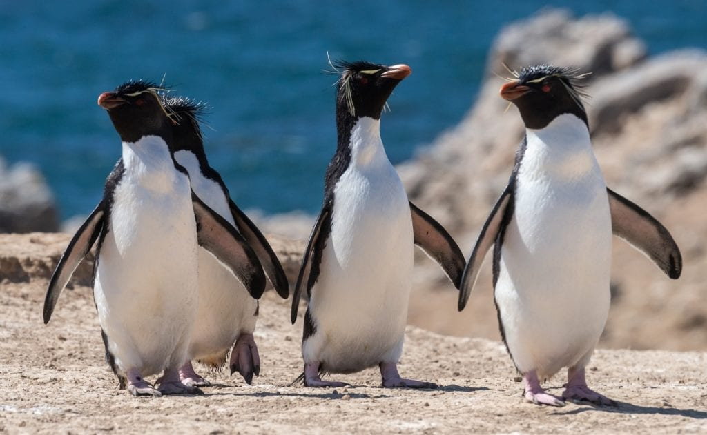A group of penguins waddling together from the sea