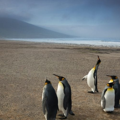 King Penguins on the beach amidst stormy weather, Falklands
