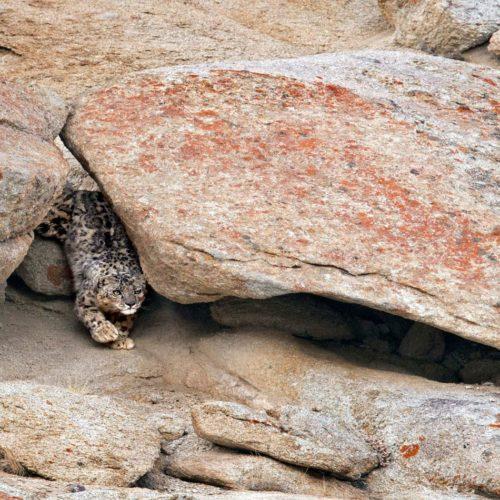 Hero Snow Leopard Lodge