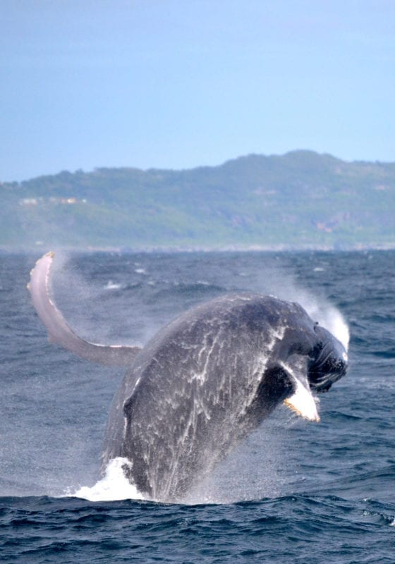 humpback whales migration Dominican Republic - copyright Dominican Republic Ministry of Tourism