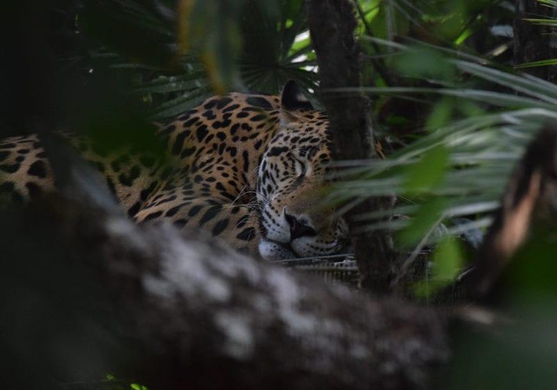 Jaguar in Belize Jungle