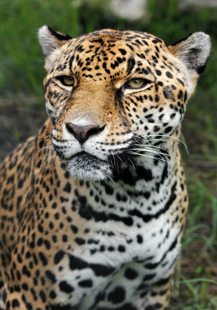 Jaguar in the Jungles of Costa Rica