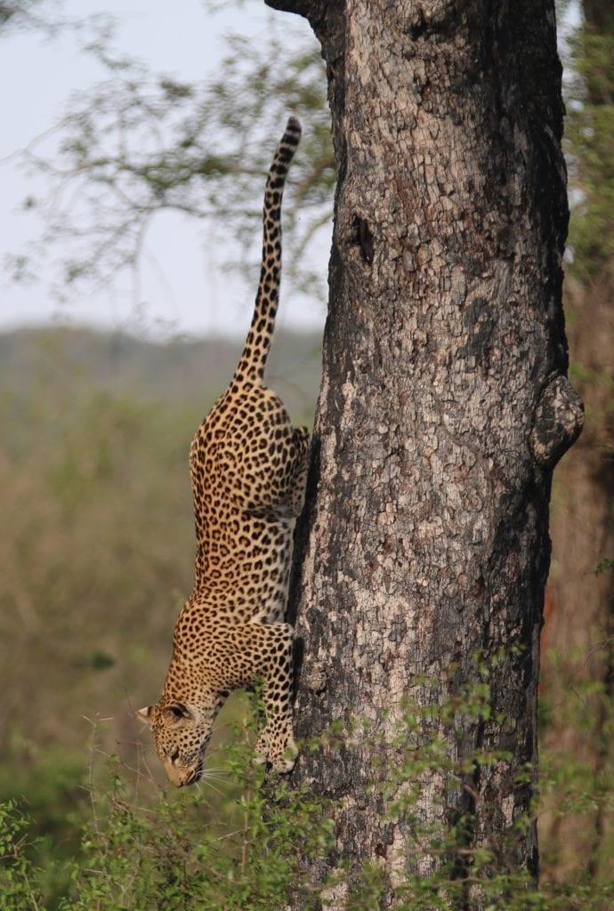 leopard darting down a tree