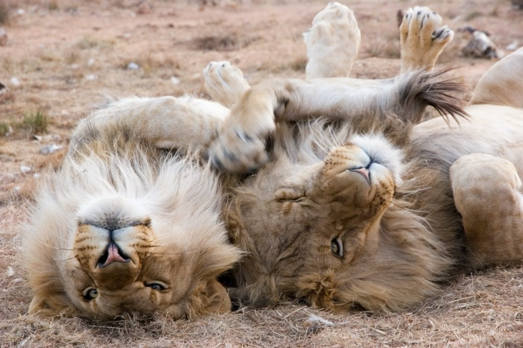 Playful lions in the sun, South Africa