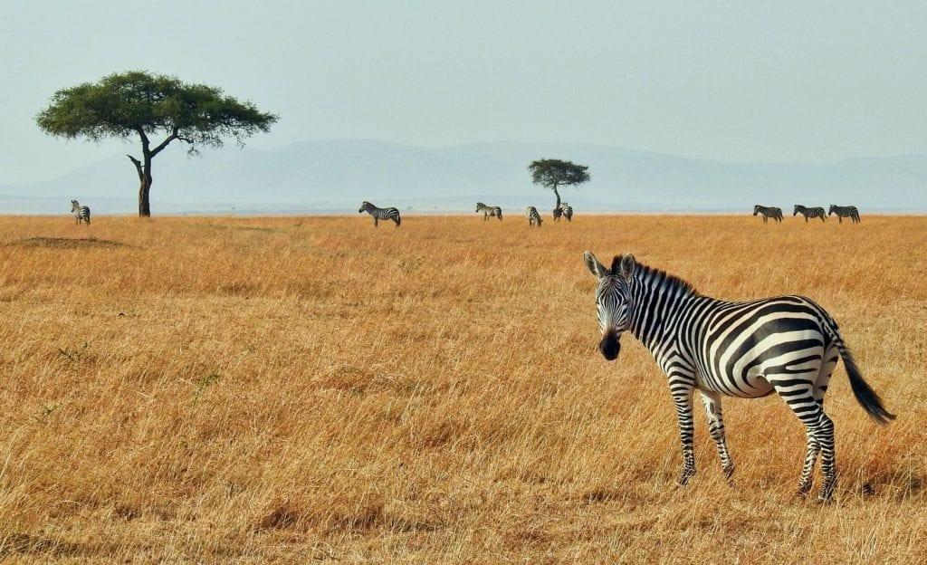 Zebra in the Masai Mara National Reserve, Kenya