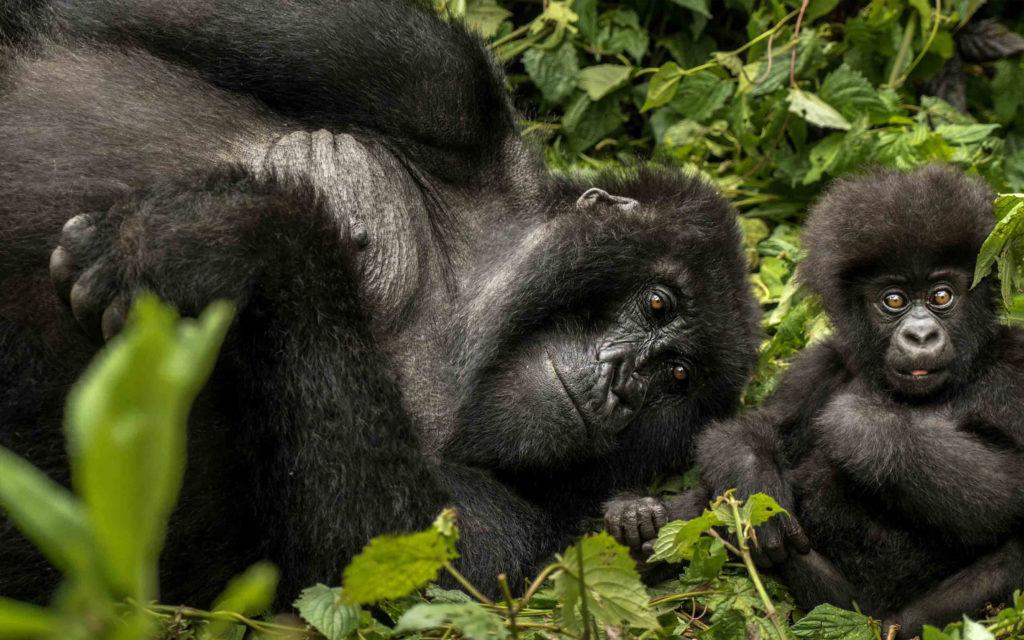 Mother and baby gorilla, Rwanda