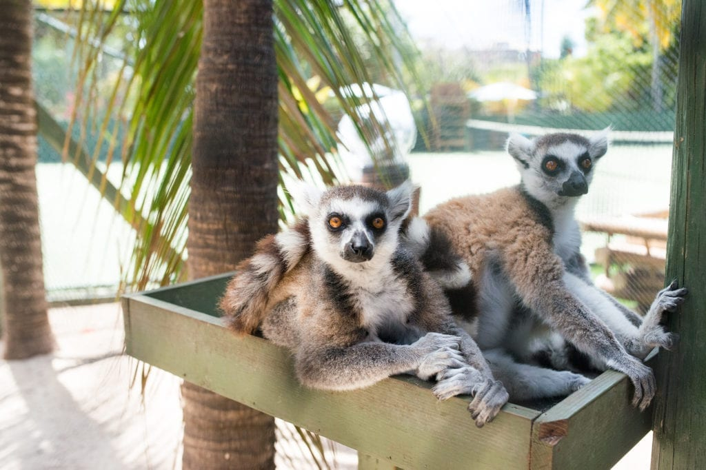 Lemurs of Necker Island British Virgin Islands
