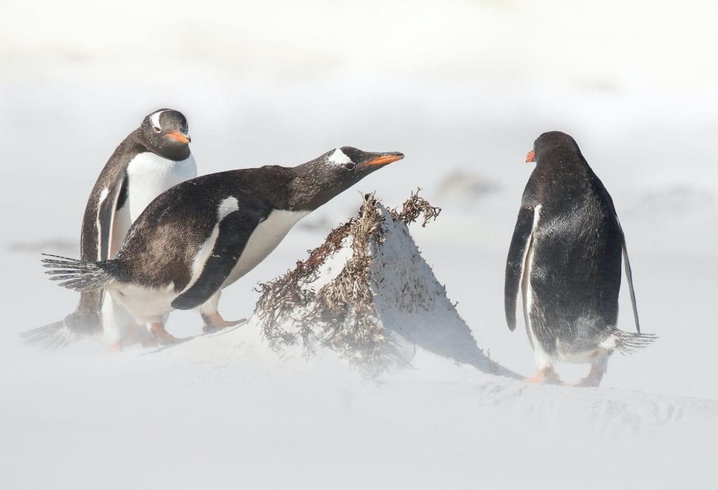 Penguins withstanding treacherous conditions in the Falklands