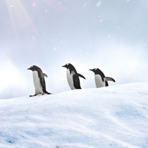 Penguins waddling in Antarctica