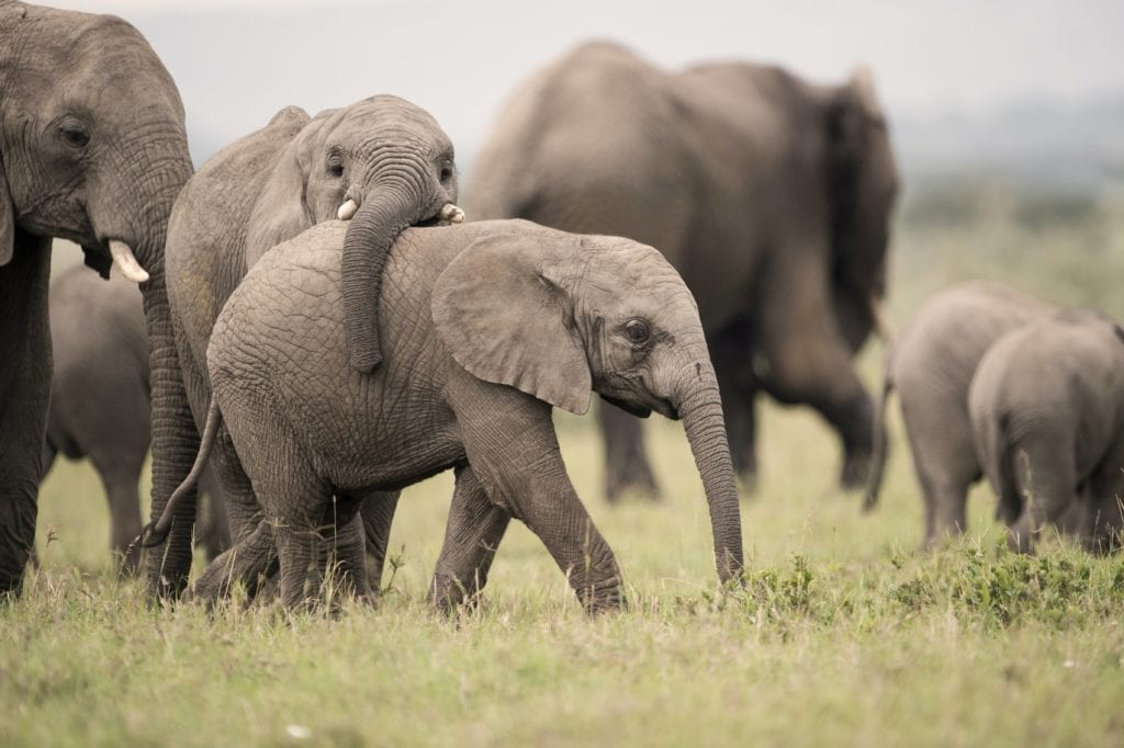 Playful young elephants in Singita, Tanzania