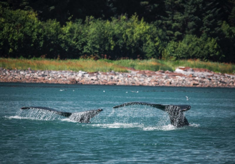 Two whales of the coast of Alaska
