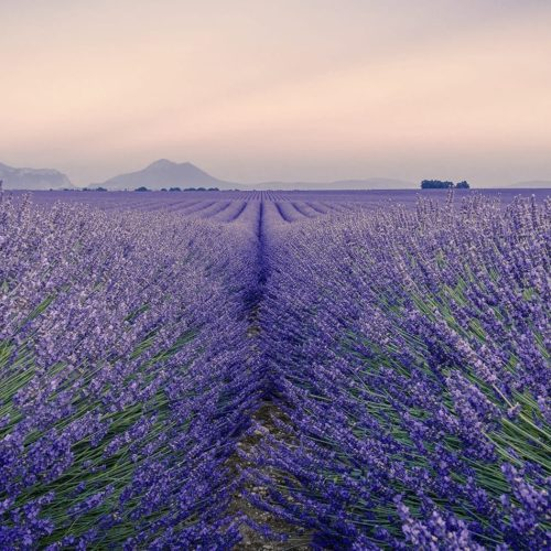France Hero Lavender Fields Honeymoon