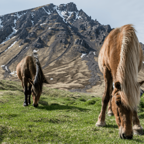 Scenic Ponies in Iceland Family Holiday