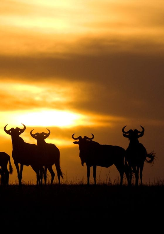 Tanzania Ubuntu Migration Camp at Sunset with wildebeest