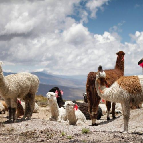 Alpacas Peru