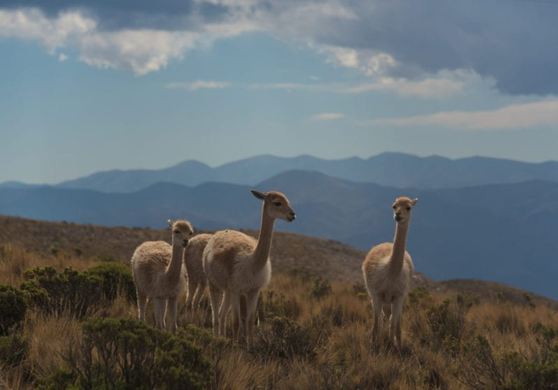 alpacas argentina mountains
