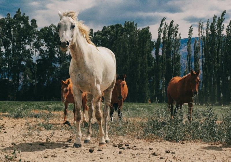 horses argentina winelands