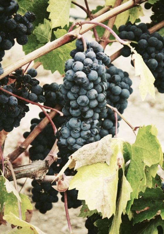 grapevines argentina