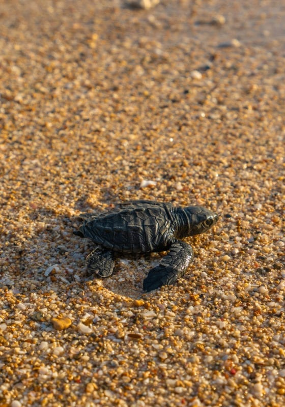 Baby Turtle in Sao Tome