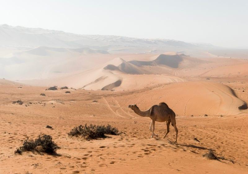Camel Oman Desert