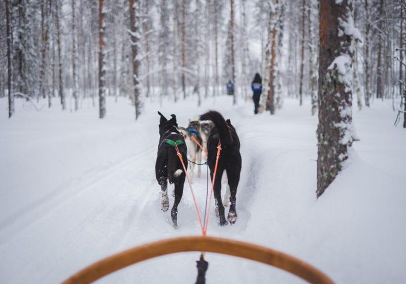 Dog Sled Sweden