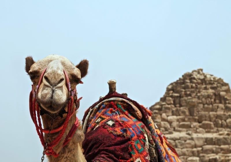 Camel in Egyptian desert